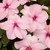 Impatiens: Impatiens Walleriana, 'Xtreme™ Pink'