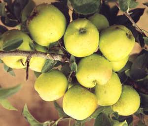 Apple Tree, Semi-dwarf 'Stark® Lodi'