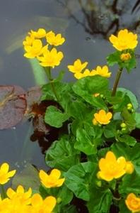 Marigold, Marsh