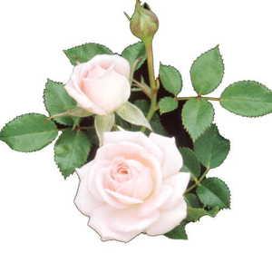 Rose, Miniature 'Cupcake'™