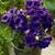 Lisianthus: Eustoma Grandiflora, 'Lizzy™ Blue'
