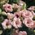 Lisianthus: Eustoma Grandiflora, 'Lizzy™ Pink'