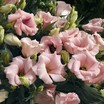 Lisianthus_eustoma_grandiflora_lizzy_tm_pink-1.thumb