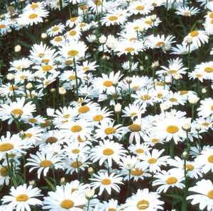 Shasta Daisy, 'Snow Lady'