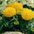 Marigolds_tagetes_erecta_antigua_tm_gold-1.small