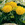 Marigolds: Tagetes erecta 'Antigua™ Gold'