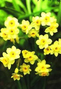 Daffodil, ADS Miniature Tazetta 'Minnow'