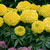 Marigolds_tagetes_erecta_antigua_tm_primrose-1.small