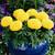 Marigolds_tagetes_erecta_antigua_tm_yellow-1.small