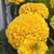 Marigolds_tagetes_erecta_perfection_tm_gold-1.small
