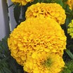 Marigolds_tagetes_erecta_perfection_tm_gold-1.thumb