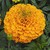 Marigolds_tagetes_erecta_perfection_tm_orange-1.small