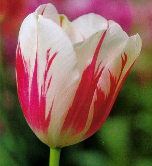 Tulips_tulipa_sorbet-1.full