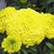 Marigolds_tagetes_erecta_perfection_tm_yellow-1.small