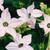 Nicotania: Nicotiana X Alata, 'Saratoga™ Appleblossom'