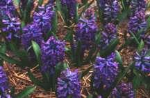 Hyacinths_hyacinthus_orientalis_var._peter_stuyvesant-1.full