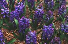 Hyacinth, Dutch 'Peter Stuyvesant'