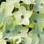 Nicotania: Nicotiana X Alata, 'Saratoga™ Lime'