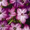 Annuals_nicotiana_x_alata_saratoga_tm_purple_bicolor-1.thumb