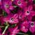 Nicotania: Nicotiana X Alata, 'Saratoga™ Rose'