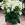 Nicotania: Nicotiana X Alata, 'Saratoga™ White'