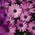 Annuals: Osteospermum, 'Asti™ Lavender Shades'