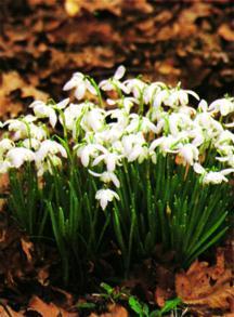 Snowdrop, Double 'Flore Pleno'