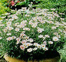 Daisies_argyranthemum_summer_pink-1.full