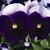 Pansies: Viola Wittrockiana, 'Karma™ Beaconsfield'