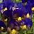 Pansies: Viola Wittrockiana, 'Karma™ Blue Butterfly'