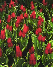 Tulips_tulipa_praestans_unicum-1.full