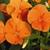 Pansies: Viola Wittrockiana, 'Karma™ Deep Orange'