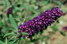 Butterfly Bush, Black Knight