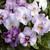 Pansies: Viola Wittrockiana, 'Karma™ Lavender Shades'