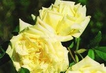 Rose, Antique Tea 'Blumenschmidt' (1906)
