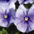Pansies: Viola Wittrockiana, 'Karma™ Light Blue'