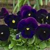 Pansy, Karma™ Purple