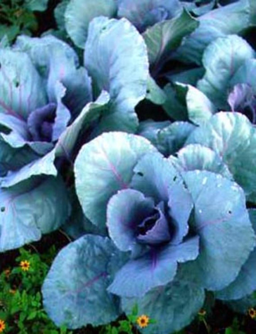 Cabbages.full