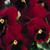 Pansies: Viola Wittrockiana, 'Karma™ Red Blotch'
