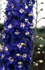 Delphinium, Pacific Giant Hybrid 'Summer Skies'