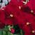 Pansies: Viola Wittrockiana, 'Karma™ Rose'