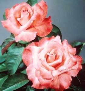Rose, Hybrid Tea 'Touch of Class'™