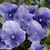 Pansies: Viola Wittrockiana, 'Karma™ True Blue'