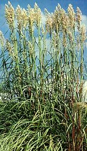 Grass, Ravenna