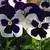 Pansies: Viola Wittrockiana, 'Karma™ Violet With Face'