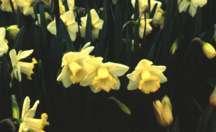 Daffodil, Trumpet 'Lemon Glow'