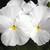 Pansies: Viola Wittrockiana, 'Karma™ White'