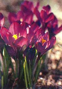 Crocus, Spring Flowering 'Barr's Purple'