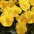 Pansies: Viola Wittrockiana, 'Karma™ Yellow'