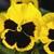 Pansies: Viola Wittrockiana, 'Karma™ Yellow Blotch'